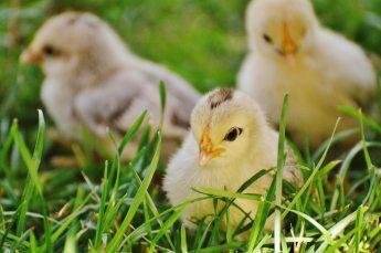 animal-baby-bird-162164