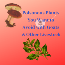 Poisonous Plants You Want to Avoid with Goats & Other Livestock